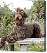 Brown Labradoodle Canvas Print