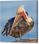 Brown Pelican Preening Canvas Print