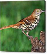 Brown Thrasher Canvas Print