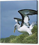 Bullers Albatross With Colorful Bill Canvas Print