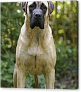 Bullmastiff Dog Canvas Print