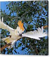Cacatoes A Huppe Orange Cacatua Canvas Print
