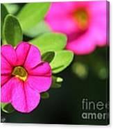 Calibrachoa Named Colorburst Rose Canvas Print