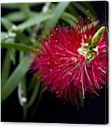 Callistemon Citrinus - Crimson Bottlebrush Hawaii Canvas Print