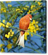 Canari De Couleur Rouge Canvas Print