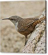 Canyon Wren Canvas Print