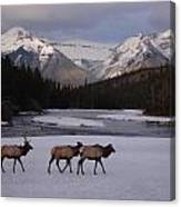 Elk Crossing, Banff National Park, Alberta Canvas Print