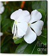 Catharanthus Roseus Canvas Print