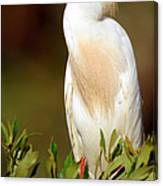Cattle Egret Adult In Breeding Plumage Canvas Print