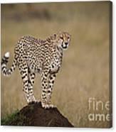 Cheetah On Termite Mound Canvas Print