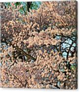 Cherry Blossoms In Pink And Brown Canvas Print