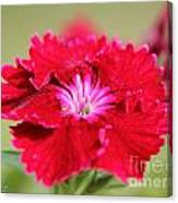 Cherry Dianthus From The Floral Lace Mix Canvas Print