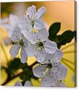 Cherry Flowers Canvas Print