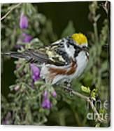 Chestnut-sided Warbler Canvas Print