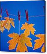 Close-up Of Fall Colored Maple Leaves Canvas Print