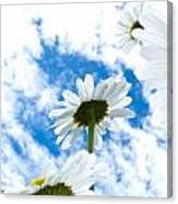 Close-up Shot Of White Daisy Flowers From Below Canvas Print