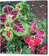Coleus Excitement Canvas Print