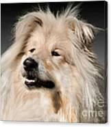 Collie Dog  Canvas Print