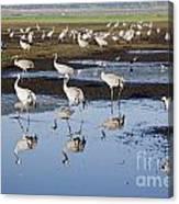 Common Crane Grus Grus Canvas Print
