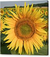 Common Sunflower Helianthus Annuus Canvas Print