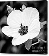 Crimson-eyed Mallow Canvas Print