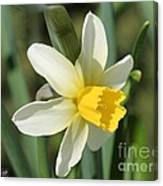 Cyclamineus Daffodil Named Jack Snipe Canvas Print