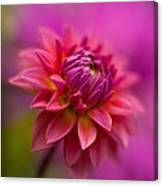 Dahlia Burst Canvas Print