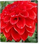 Dahlia Named Ali Oop Canvas Print