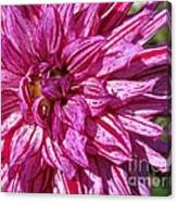 Dahlia Named Annette C Canvas Print