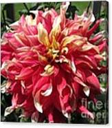 Dahlia Named Bodacious Canvas Print