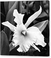 Dove Orchid  Canvas Print
