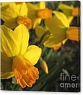 Dwarf Cyclamineus Daffodil Named Jet Fire Canvas Print