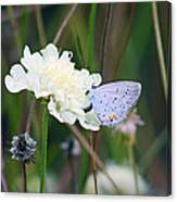 Eastern Tailed Blue Butterfly On Pincushion Flower Canvas Print
