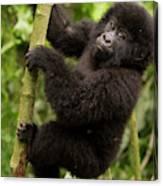 Endangered Mountain Gorillas Habitate Canvas Print