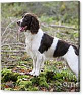 English Springer Spaniel Dog Canvas Print