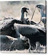 Eurasian Griffon Vulture Gyps Fulvus Canvas Print
