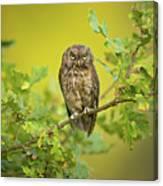 Eurasian Scops Owl Canvas Print