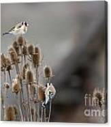 European Goldfinch Canvas Print