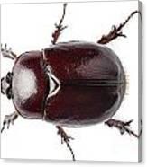 European Rhinoceros Beetle Female  Canvas Print