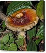 Fairy Mushrooms Canvas Print