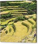 Farmers At Rice Field Canvas Print