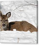Fawn In The Snow Canvas Print
