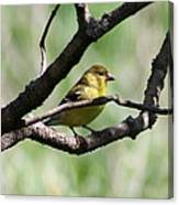 Female American Goldfinch Canvas Print