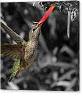 Female Anna's Hummingbird Canvas Print