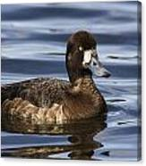 Female Scaup Canvas Print