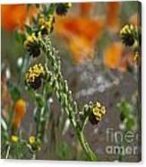 Fiddleneck Flowers Canvas Print