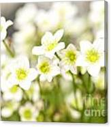 Field Of White Blossoms Canvas Print