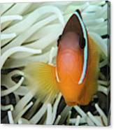 Fiji Anemone Fish (amphiprion Barberi Canvas Print