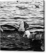 flock of southern giant petrels one showing sealmaster agressive feeding posture in port lockroy Ant Canvas Print