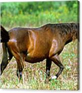 Florida Spanish Horse Canvas Print